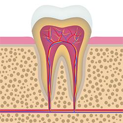 Aufbau eines gesunden Zahnes