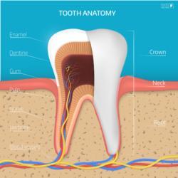 Anatomie eines Zahnes
